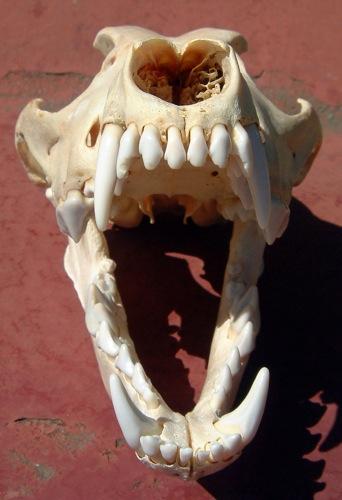 Canineskullfrontal